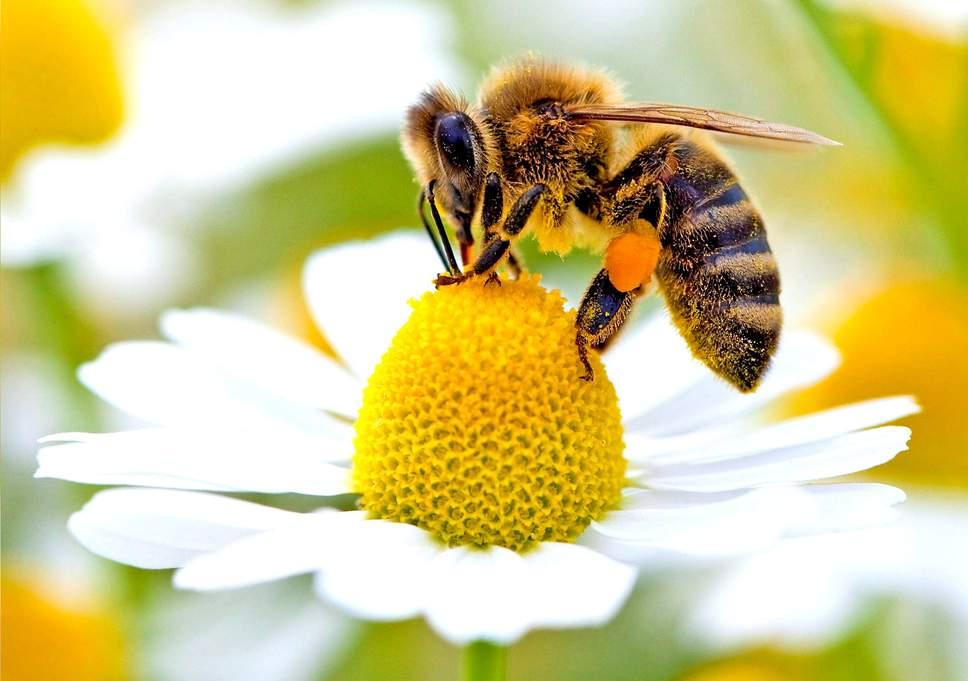 bone conduction weetjes bijen